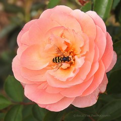 Rose with Hover Fly (AngelVibePhotography) Tags: northcarolina outdoor outdoors nikon blossom colorful flower blossoms closeup insects roses flowers garden nature hoverfly raleighnc plant photography rose pink animal insect macro nikonp900 rosa depthoffield