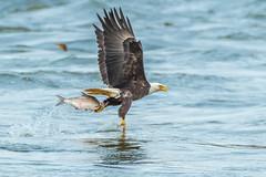 Bald Eagle Fish Catch (Vic Zigmont) Tags: eagles birds baldeagle bald eagle with prey fish birdinflight raptor baldeagleinflight baldeaglewithfish