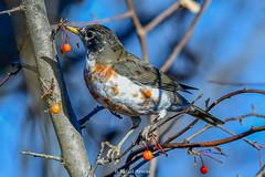 American Robin / Turdus migratorius (Piebaldism) (Rafael Arvelo C.) Tags: turdus migratorius zorzal piebaldism ckit