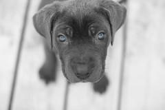 Photographer:ZenaBoyd PiccoloMyDevilishSweet (urlite_shine) Tags: peta innocence canecorso splashofcolor cute pups puppy cane mischievous blueeyes eyes animal portrait animalportrait love lovely mastiff closeup curious blue