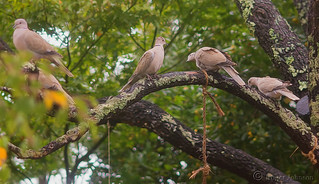 A Tree Full OF Turtle Doves