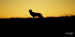 Coyote Silhouetted On Ridge At Sunset (dcstep) Tags: dsc7976dxo coyote horizon ridge silhouette sunset westerncoyote cherrycreekstatepark aurora colorado usa sonya9 fe100400mmf4556gmoss fe14xteleconverter nature urban urbannature allrightsreserved copyright2017davidcstephens dxophotolab101 primenoisereduction