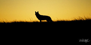 Coyote Silhouetted On Ridge At Sunset