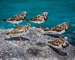 Birds of a feather flocking (FotoFloridian) Tags: bird nature animal wildlife outdoors animalsinthewild sea water beautyinnature beak day sony alpha a6000 rudyturnstone shoreline blue group flock
