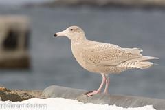 Grote burgemeester / Glaucous Gull (igerarddejong) Tags: bird norway noorwegen larushyperboreus varanger groteburgemeester glaucousgull vogel