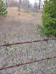 Caza de cactus + yuccas (Mike's Mode (Miguel H.)) Tags: cactus opuntia macrorhiza michigan newaygo muskegon river sand arena caminata senderismo hike hiking semillas seeds espinas glochids