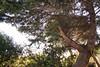 le vieux cèdre et sa béquille 2 (guydhotel34) Tags: cèdre