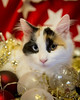 20171203_0641c (Fantasyfan.) Tags: fantasyfanin yule christmas kitten