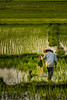 Nice Rice (morethannever) Tags: rice field worker vietnam southeastasia asia nikon d7100 nikkor 1685 green lights