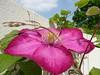 "Clematis ""Ville de Lyon"" (libra1054) Tags: clematis waldrebe pink flores fiori flowers fleurs blumen flora closeup nature natura"