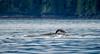Humpback Whale (Warp Factor) Tags: alertbay canont4i humpback summer2017 whales sealife vacation wilderness wildlife tamron150600mm alertbaycanont4ihumpbackorcassummer2017whalessealifevacationwildernesswildlife