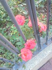 268 (en-ri) Tags: rose roses foglie leaves sony sonysti rosa verde recinzione grata