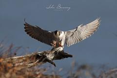 Peregrine Approach (johnbacaring) Tags: peregrinefalcon falcon peregrine birding wildlife nature