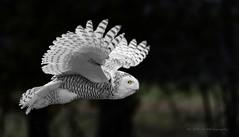 Harfang des neiges / Snowy Owl / Bubo scandiacus / Ukpik (FRITSCHI PHOTOGRAPHY) Tags: harfangdesneiges buboscandiacus snowyowl