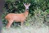 ©Mark Kras-Ree-IMG_6209.jpg (markkras-fotografie) Tags: zoogdieren herten ree fauna capreoluscapreolus roedeer nederland nl