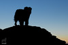 Shaggy Silhouette (Jasper's Human) Tags: aussie australianshepherd silhouette southmountainpark