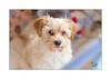 Havaneser (Fujigraf) Tags: havaneser hund welpe tier baby zart braun spiel nase mund tierportrait süs fujinon xf56mm 12