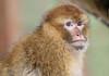 barbary macaque ouwehands BB2A0954 (j.a.kok) Tags: barbarymacaque barbarymonkey berberaap monkey aap ouwehands africa afrika ouwehandsdierenpark animal mammal macaque makaak macacasylvanus zoogdier dier primaat primate