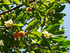 Strawberry tree (Arbutus unedo), Sentier des Terres Rouges (Niall Corbet) Tags: france occitanie languedoc roussillon aude strawberrytree arbutusunedo sentierdesterresrouges
