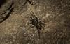 Notasteron lawlessi (dustaway) Tags: arthropoda arachnida araneae araneomorphae zodariidae notasteronlawlessi antspider lawlessantspider australianspiders naughtonsgap richmondvalley northernrivers nature nsw australia