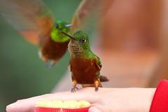 Chestnut-breasted Coronet (kidbirder) Tags: