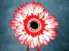 Gerbera in town (Pensive glance) Tags: gerbera flower fleur plant plante