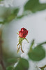 Under the snow and ice (Inka56) Tags: 7dwf macroorcloseup rose redrose rosebud snow ice hbw