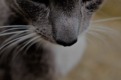 misstom (andreea_mihailiuc) Tags: cat tom animal pet nose grey white focus depthoffield background love handsome outdoor missing miss pretty cute andreeamihailiuc flickr explore mustache macro nikon nikond3200 40mm f28