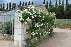 Roseraie du parc de Chenonceau (claude 22) Tags: flores blumen flowers fiori 花卉 フラワーズ roseraie chenonceau garden claude22b rose