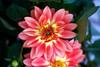 Dahlia of the past (Pensive glance) Tags: dahlia flower fleur plant plante