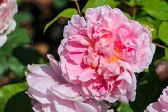 Maig_1508 (Joanbrebo) Tags: barcelona catalunya españa es park parque parc parccervantes garden jardí jardín flors flores flowers fleur fiori blumen blossom rosa rose canoneos70d eosd efs18135mmf3556is autofocus