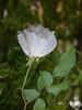 Rosée sur la rose (giorgiorodano46) Tags: novembre2017 november 2017 giorgiorodano nikon rosa rosabianca white dew rosée rugiada mattino morning matin