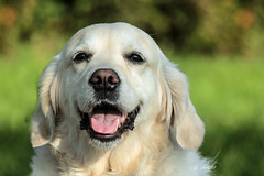 Roos (K.Verhulst) Tags: retriever goldenretriever hond dog pet huisdier roos labrador coth5 ommoordseveld
