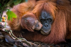 Baby Orangutan kissing his Mom (tehhanlin) Tags: bukitlawang coffee medan orangutan roaster tanjongmorawa sumatran sumatranorangutan ngc family baby portrait endangered kiss wild wildlife indonesia nikon ape
