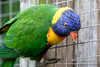 _MG_1053.jpg (Ashley Middleton Photography) Tags: warminster lorikeets rainbowlorikeet unitedkingdom wiltshire bird longleatsafaripark england parrot europe animal