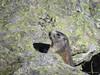 Shy marmot (Vincent_Thonnart) Tags: marmotte marmot murmeltier