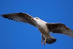 Young Gull - The Esplanade, Sidmouth, Devon 2017 (Dis da fi we (was Hickatee)) Tags: sidmouth devon gull bird flight