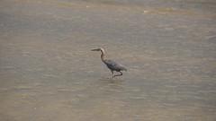 DSC04916 (Matthew283) Tags: bolvar wildlife 11182017 reddish egret