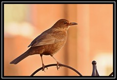 """Mrs Blackbird..."" (NikonShutterBug1) Tags: nikond7100 tamron70300mm birds ornithology wildlife nature spe smartphotoeditor birdfeedingstation bokeh blackbird"