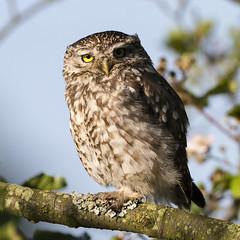 Little Owl (Athene noctua) (Jud's Photography) Tags: nature wildlife animals littleowl athenenoctua parklimepits dawendcanal walsall gb uk raptor birdofprey