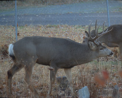 IMGP4816b (forfiv) Tags: digital color deer pentaxkx quanteray100300mm grandcoulee wa