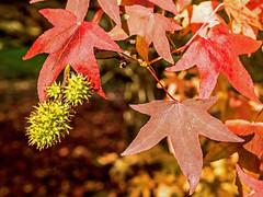 Liquidambar Seed Pods (niloc's pic's) Tags: liquidambar liquidambarstyraciflua seedpod seed leaves sheffieldpark eastsussex nationaltrust panasonic lumix dmcgh4r