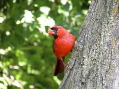 Cardinal (Vickie Bowie) Tags: toronto parks nature bird birds cardinal