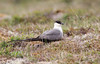 Long-tailed Jaeger (Cameron Darnell) Tags: stercorarius longicaudus jaeger canon tamron cameron 2017 summer tundra animal bird birds birding breeding habitat photography photo ak alaska travel biology nature seabird shorebird skua longtailed lens close