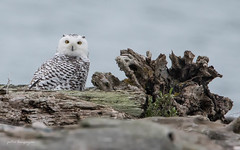 Snowy Owl (Peter Bangayan) Tags: owls birds smallbirds snowy owl
