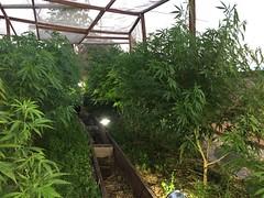 IMG_5517 (CannaPsy) Tags: medicalcannabis medicalmarijuana cannabis organic sungrown truelivingorganics notill weed ganja herb dank caliweed cleanmeds ecofriendly legalization warondrugs prohibition