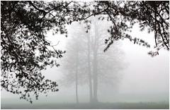 Fog (sorrellbruce) Tags: geese canadiangeese framing aerialperspective winter fog
