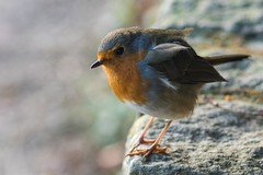 Robin (Evoljo) Tags: bird robin stantonpark swindon wiltshire wall nature red nikon d500