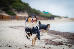 Under the rain (shila009) Tags: nora roughcollie lluvia rain beach portrait retrato dog happydog run sand