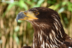 American sea eagle (Mandenno photography) Tags: animal animals american sea seaeagle eagle bird birds roofvogels ngc netherlands nederland nature